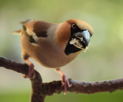 Hawfinch (adult male)