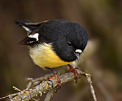 Male Tomtit, New Zealand