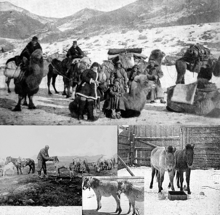Hagenbeck's expedition and captive Przewalski foals