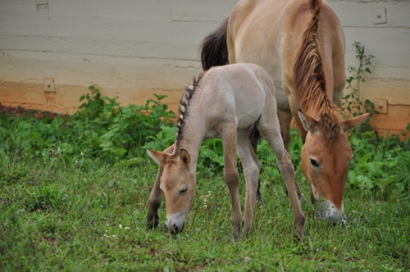Przewalski foal conceived through artificial insemination