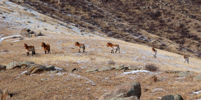 Przewalski Horses in the wild at Hustai National Park