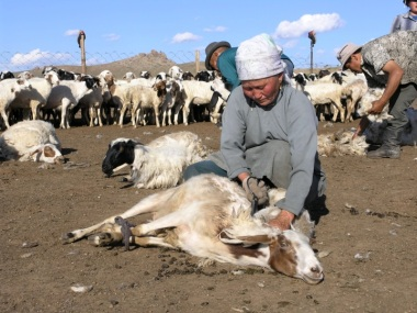 Mongolian cashmere goats being sheared