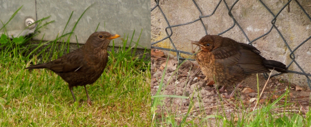 Adult female (left) and juvenile (right) Blackbird