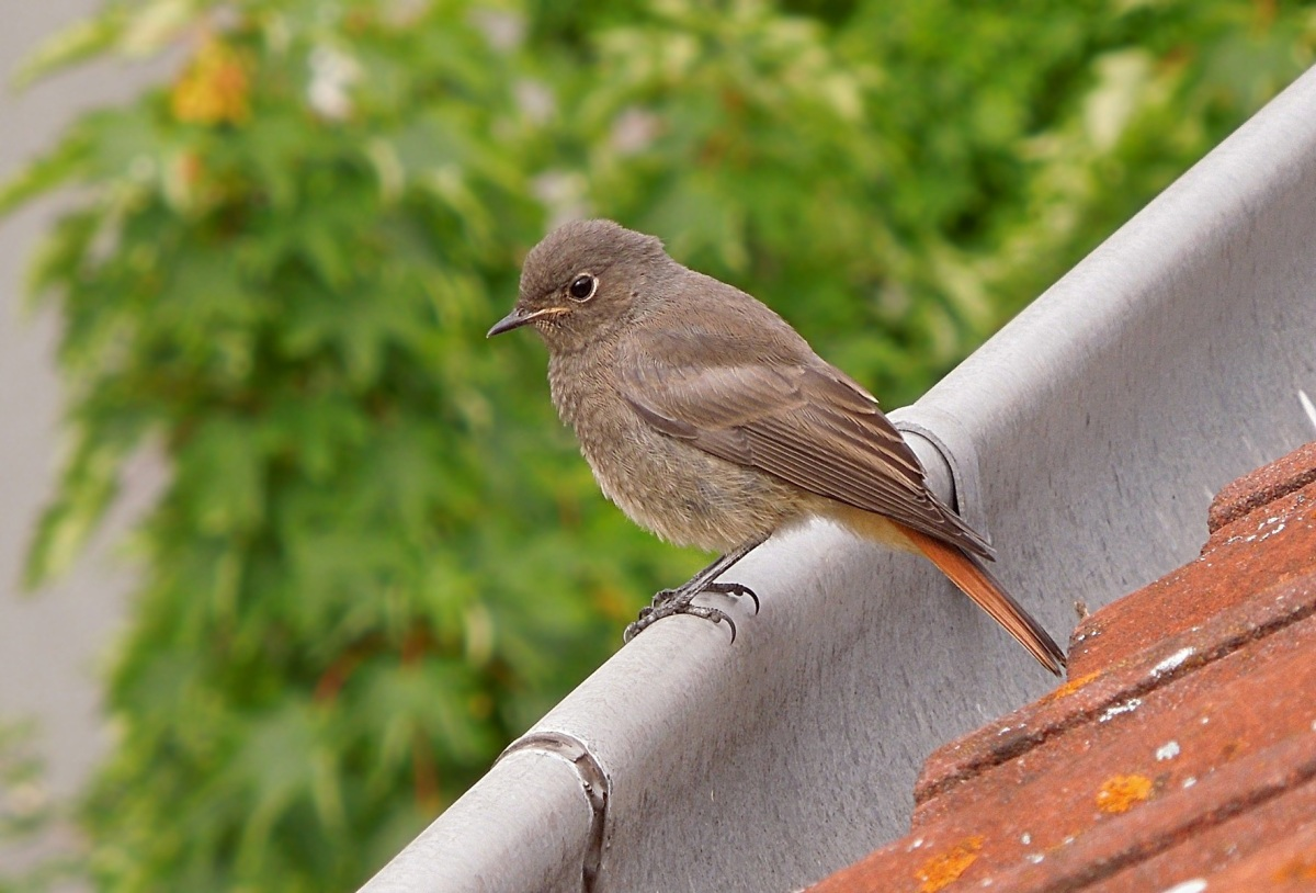 Black redstart young