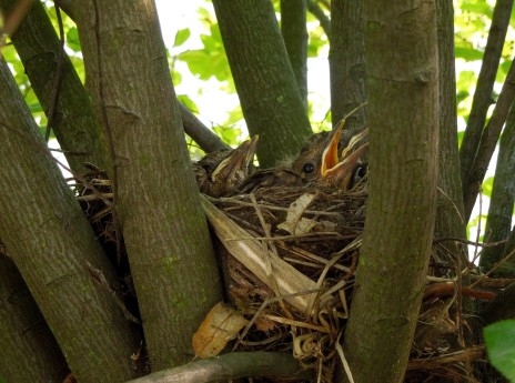 Evolution of Blackbird nestlings over the course of 4 days