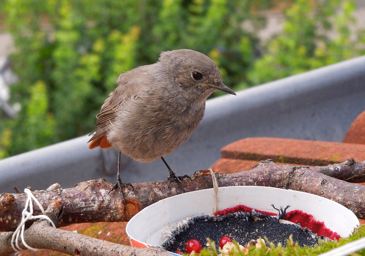 Black redstart chick