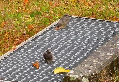 Black redstart fledglings