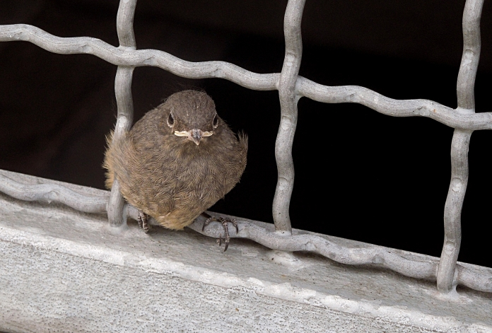 Black redstart fledgling