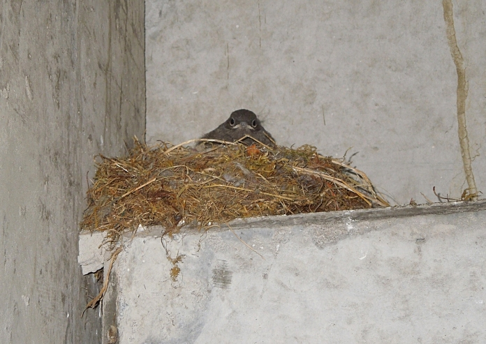 Black redstart nest