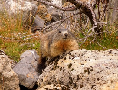 Marmot, French Alps