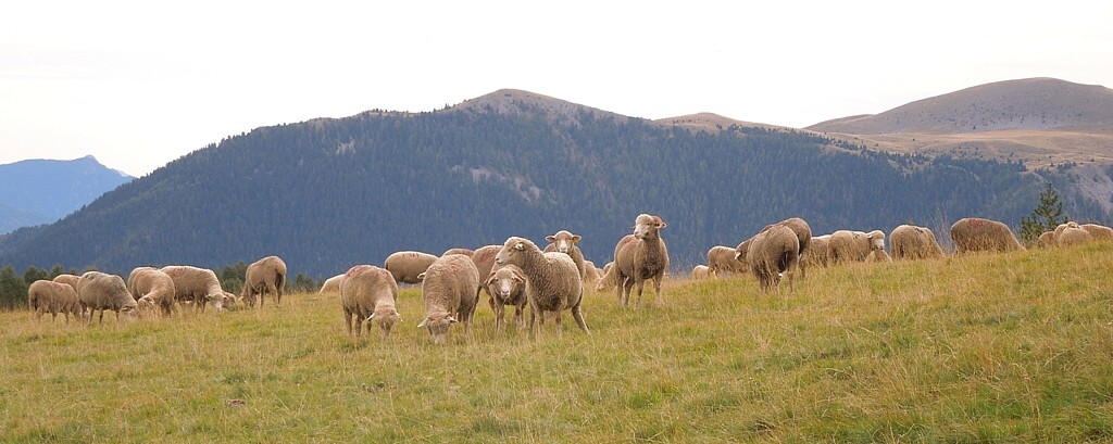 A sheep flock on the hillsides behind the Col de la Couillole