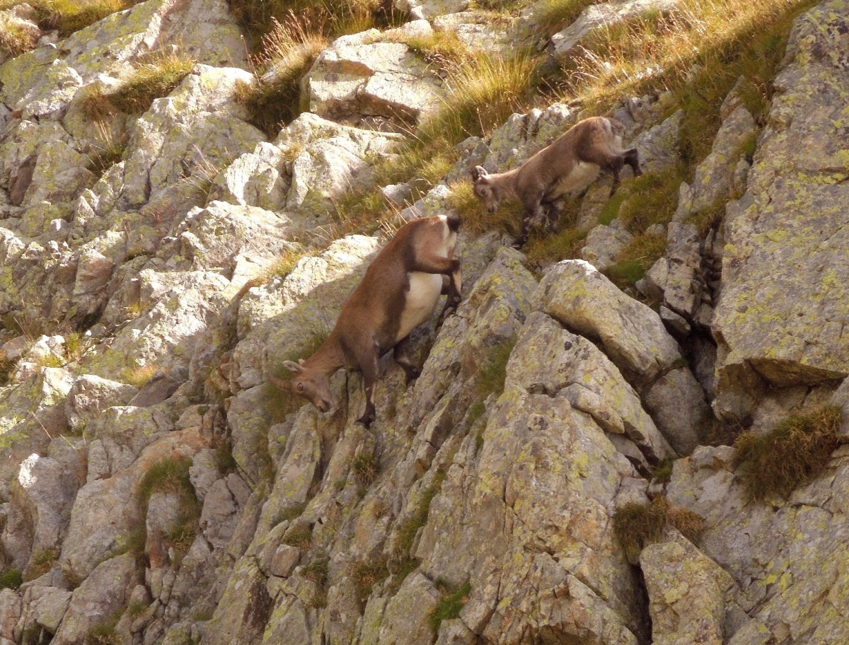 Female and young ibex