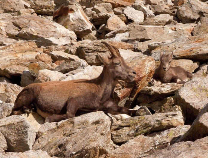 Female ibex and kid