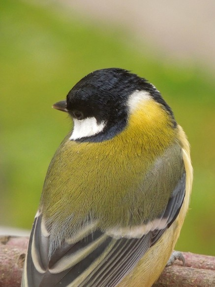 Adult Great Tit