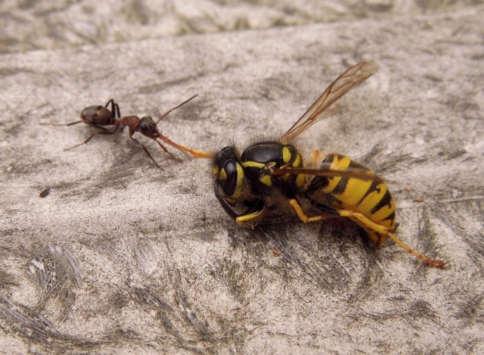 The ant and the wasp