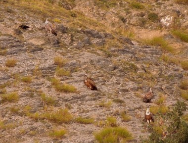 Griffon Vultures at the Mercantour