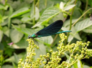 Adult male Beautiful Demoiselle, Bayreuth, Germany