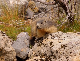 Marmot, Parc National du Mercantour, French Alps