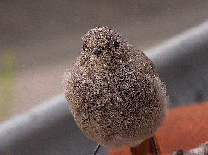 Young black redstart