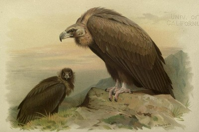 Illustration of a Cinerous Vulture, one of the vulture species present in Europe. Source: Ornithology of Straits of Gibraltar from Lt Col L Howard Irby 1895