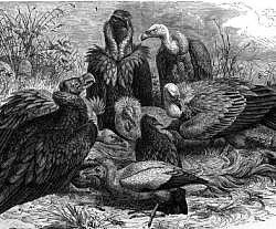European vulture species