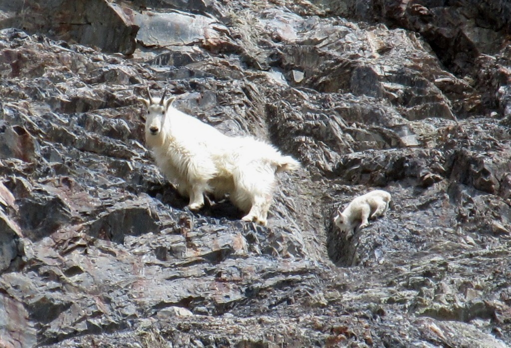 Baby Mountain goat, Canada