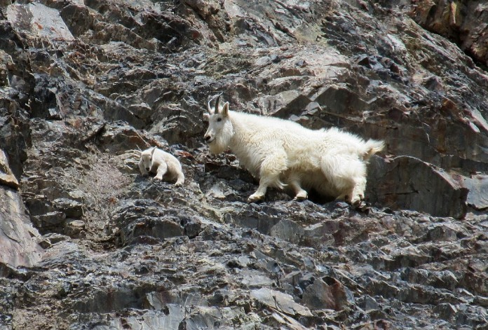 Mountain goat nanny & kid, BC, Canada