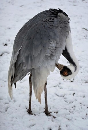 White-naped crane in Bayreuth, Germany