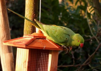 Rose-ringed parakeet, Paris, France