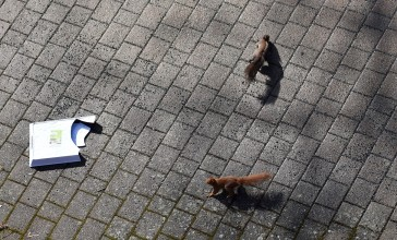 Red squirrel, black squirrel