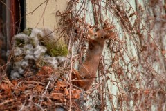Red squirrel and shelter