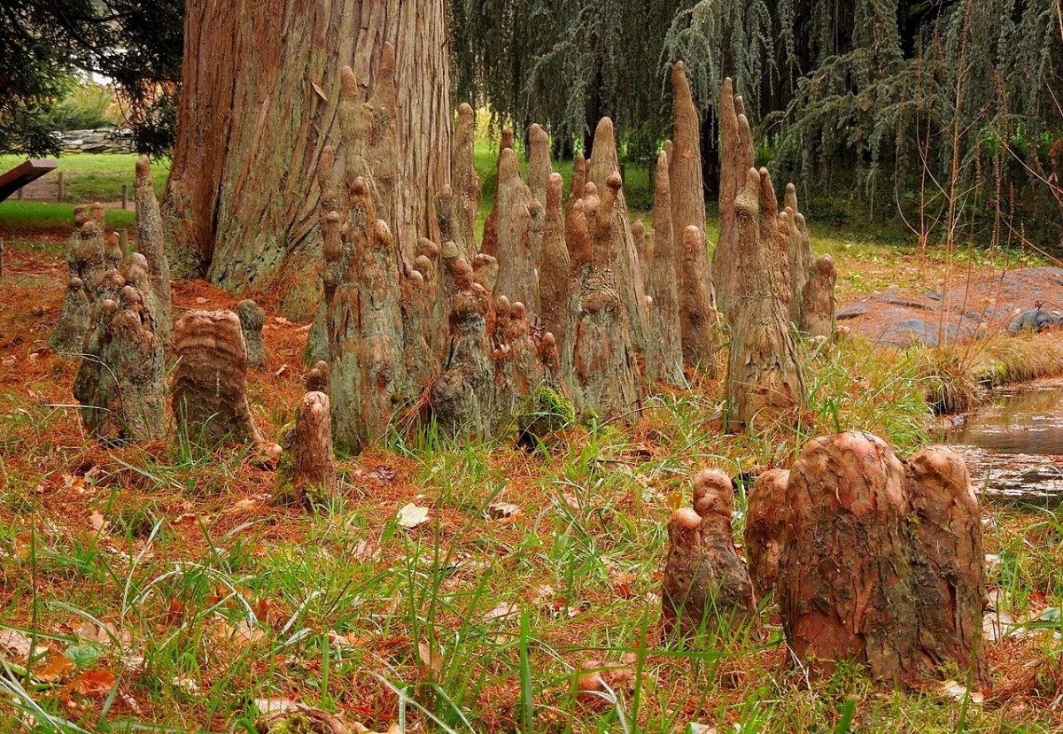 Pond cypress knees