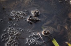 Common frogs & eggs