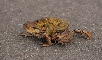 Common toads in amplexus