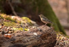 Female common chaffinch (Fringilla coelebs)