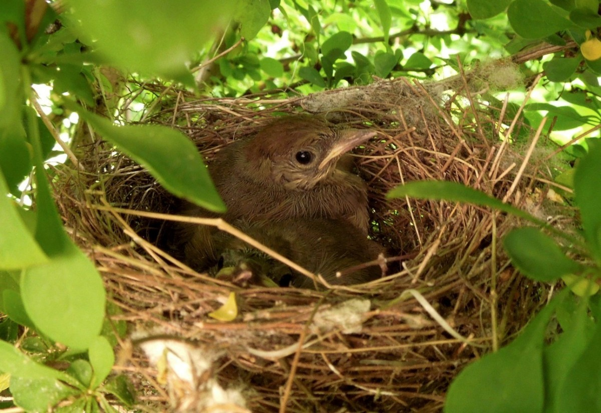 Blackcap nestlings