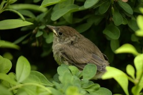 Eurasian blackcap young