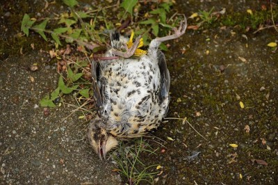 Dead fieldfare chick