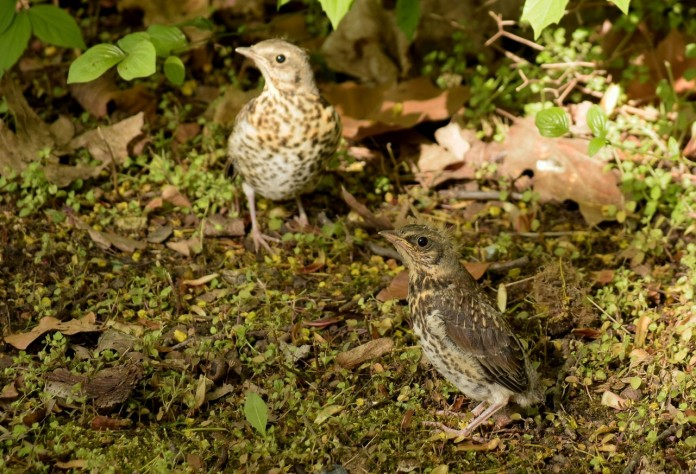 Fieldfare fledglings