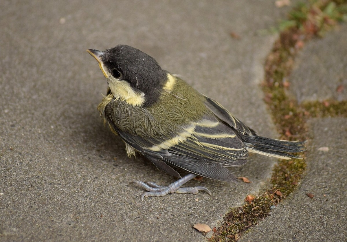 Great tit fledgling