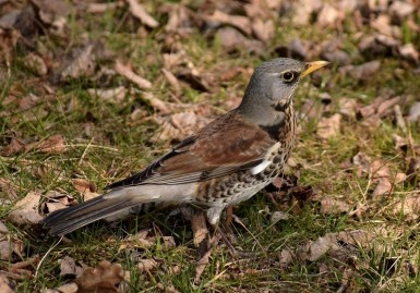 Adult fieldfare