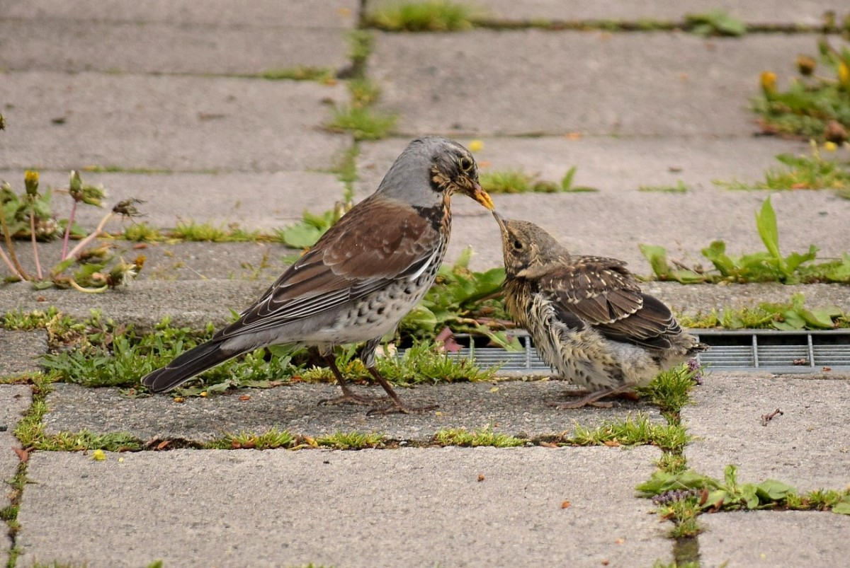 Fieldfare chick & adult