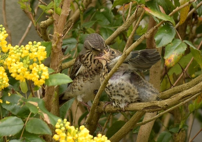 Fieldfare chick and adult