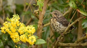 Fieldfare fledgling