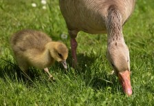 Greylag gosling with mother