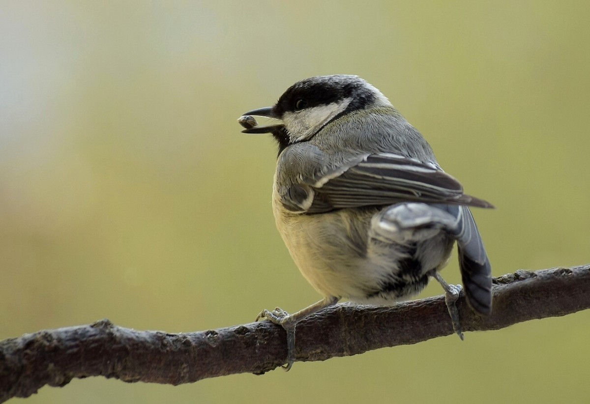 Female great tit