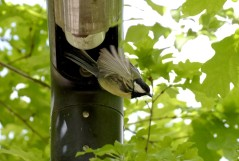 Great tit nest
