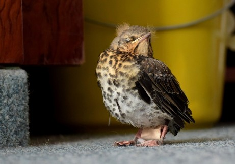 Fieldfare chick