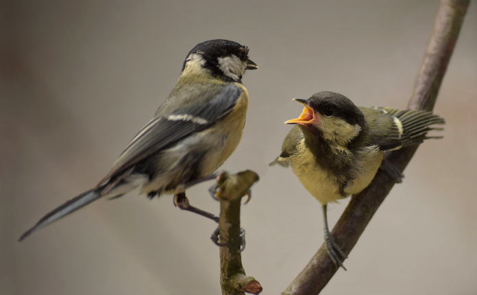 Great tit attending chick