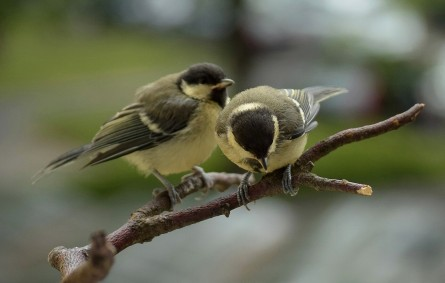 Great tit chicks